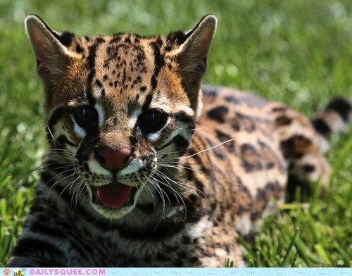 baby cub cute encore ferocious happy innate ocelot squee spree third place - 5586056448