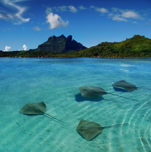 blue water bora bora french polynesia getaways Hall of Fame ocean rays - 5586987008