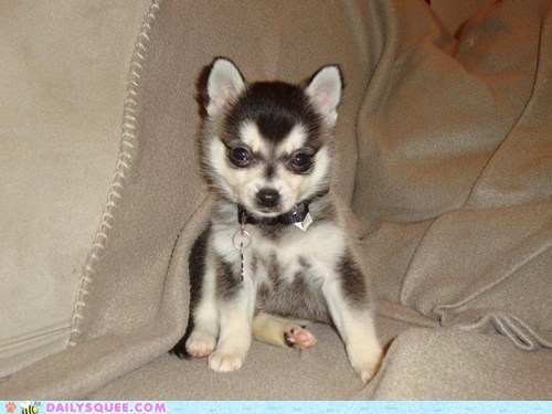 baby couch dogs history king Klee Kai lolwut puppy rambling rant reader squees - 5587034368