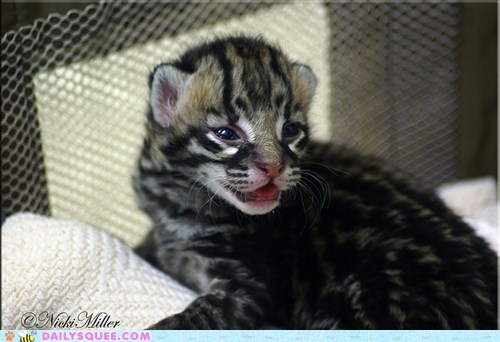 baby cub Hall of Fame i has little ocelot squee spree tiny