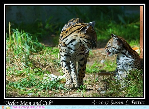 baby,compensation,largesse,mother,ocelot,ocelots,pun,size,squee spree