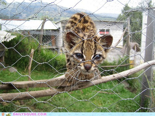 baby,cub,fence,let me out,ocelot,please,release,request,squee spree
