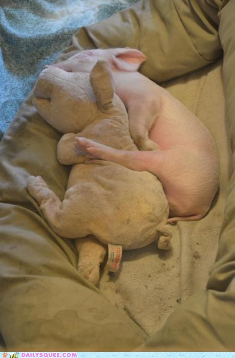 adorable,Awkward,baby,cuddling,friends,friendship,Hall of Fame,hammy,pig,piglet,posture,pun,sleeping,stuffed animal