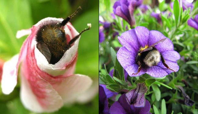 cute bumblebees butts sticking out from flowers