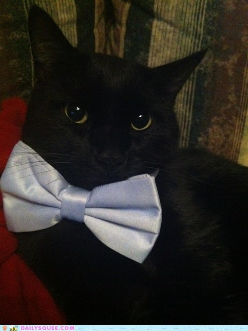 bow tie cat dressed up fashion reader squees style stylish - 5590749440