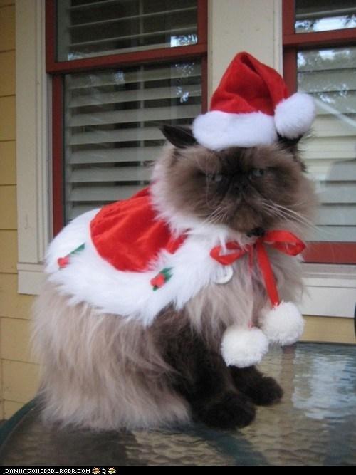 advent calendar bah humbug christmas costume cyoot kitteh of teh day dressed up grumpy holidays not happy santa hats - 5591891968