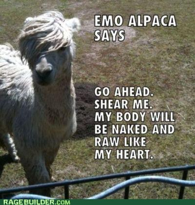 alpaca,animals,best of week,emo,emolulz