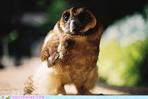 baby eyes gorgeous looking Owl owlet pun squee spree Staring - 5592175872