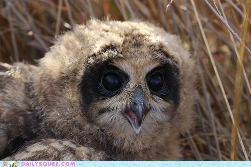 baby,confirmation,marsh owl,marsh owlet,orly,Owl,owlet,squee spree,yes
