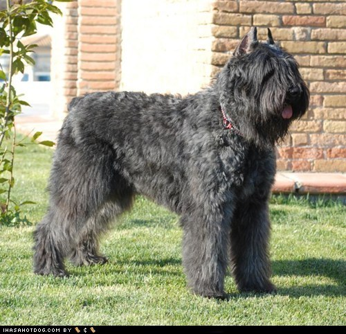 Bouvier des Flandres goggie ob teh week poll Redbone Coonhound schipperke shar pei u deside - 5592296704