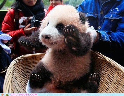 baby cub greeting hello panda panda bear wave waving - 5593019136