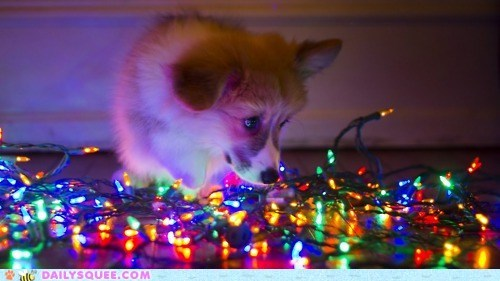 amazed amazing baby christmas corgi fascinated glow glowing Hall of Fame lights puppy twelve squees of christmas watching