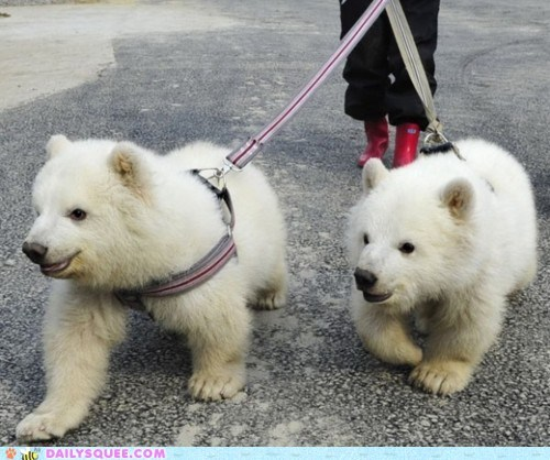 acting like animals Babies baby best ever cub cubs Hall of Fame leash leash-trained polar bear polar bears this is a thing that is real walk walking