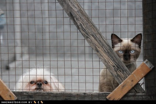 back away,cat,dont-mess-with-us,fence,kittehs r owr friends,lhasa apso,siamese,step off
