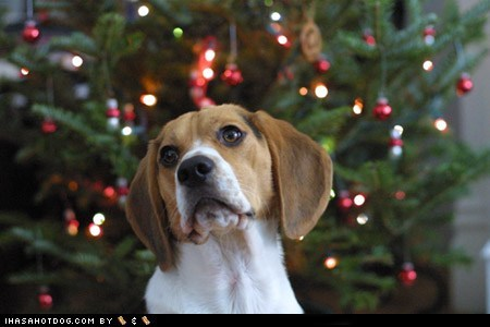 12 dais ob krimmas,12 days of christmas,12 Days of Christmas Dog Version,beagle