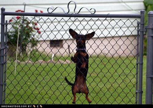 12 dais ob krimmas 12 days 12 Days of Christmas Dog Version dachshund dachshunds