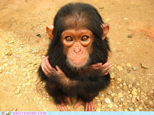 baby chimp chimpanzee desire do want eyes hug hugging idiom irresistible monkey request stare Staring