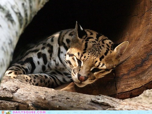 asleep nap napping noon ocelot pun sleeping squee spree tired