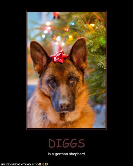 DIGGS is a german shepherd