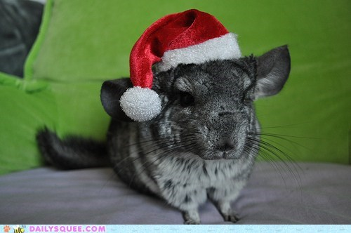chinchilla christmas costume dressed up hat santa santa hat - 5601921792
