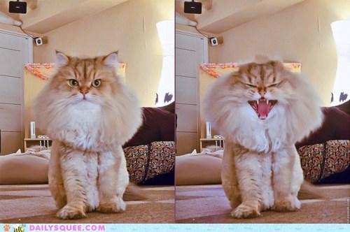 acting like animals alarm alarmed automatic cat confused defense mechanism frilling instinct mane poofy response scared startled - 5601998848