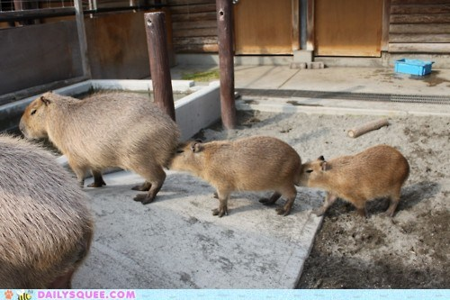 acting like animals,bored,capybara,capybaras,centipede,confused,explanation,line,weird