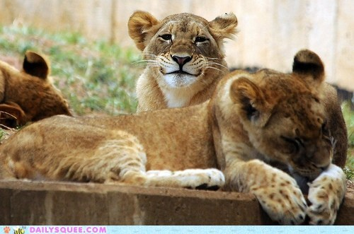 acting like animals,baby,cub,expression,guilty,lion,smile,smiling,smirk