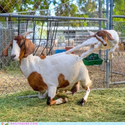 acting like animals baby bad idea butt kicking excellent form goat goats kick kicking kid mother posture - 5602292736