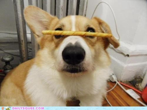 acting like animals balancing corgi do not want dogs nose patience torture treat trick unfair - 5602352384
