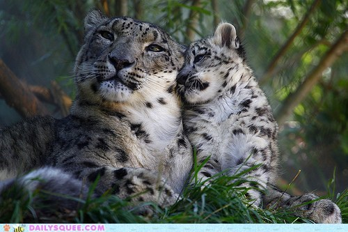 baby cub family gene hereditary leopard leopards mother snow leopard snow leopards squeeness - 5605659392