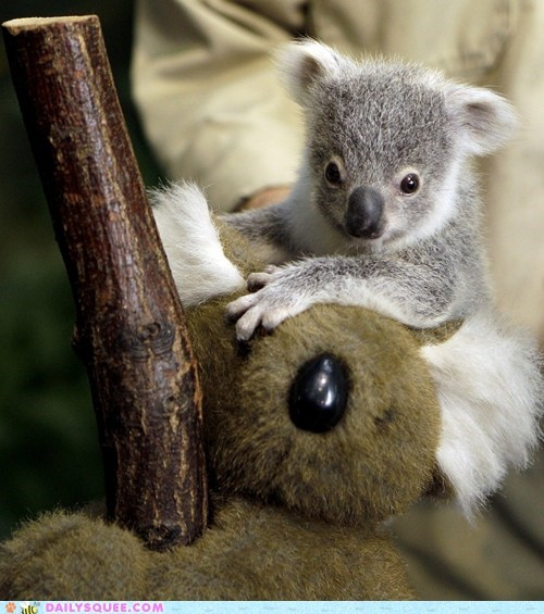 adorable,baby,cub,koala,tiny,unbearably squee