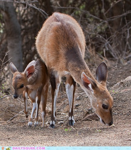 baby,bloodline,bushbuck,bushbucks,deer,family,Genetics,inherited,mother,squeeness,trait,traits