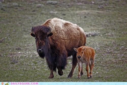 baby bison buffalo calf family mother