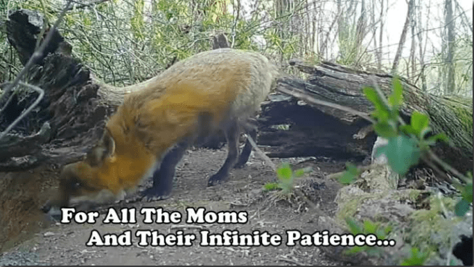 mother fox having patience for her cubs