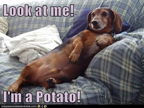 animals couch couch potato dachshund dogs i has a hotdog potato - 5617472768