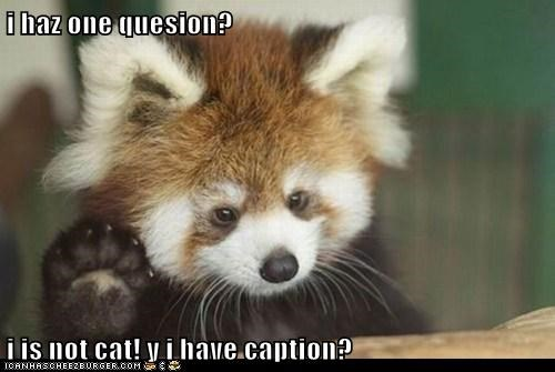 adorable animals awesome good question question red panda - 5619635712