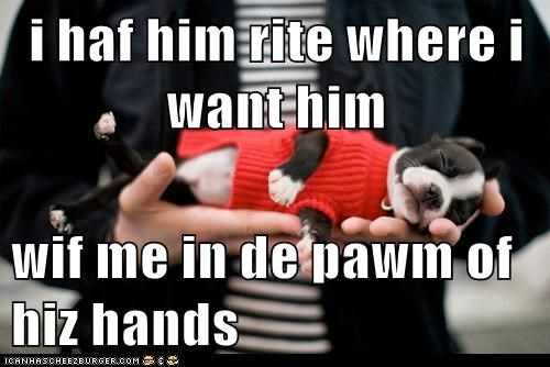 adorable asleep boston terrier cute hand palm of hand puppy tired - 5621451008