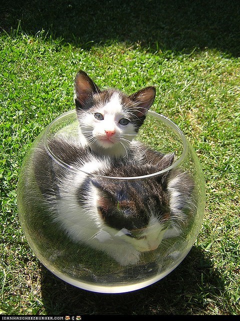 bowls,cyoot kitteh of teh day,fish,Fishbowl,glass,two cats