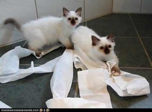 bathrooms,cyoot kitteh of teh day,messes,naughty,toilet paper,two cats