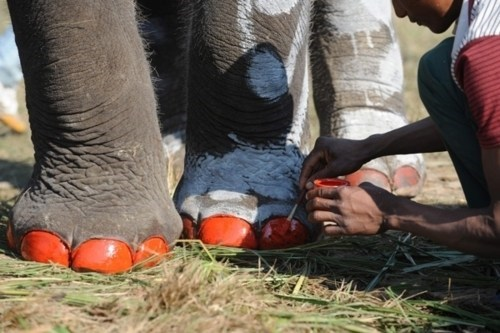 Conservation Awareness Elephant Soccer nepal Pachyderm Beauty Pageant - 5626311424