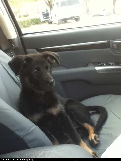 car cyoot puppeh of teh day drive german shepherd puppy ride - 5626318336