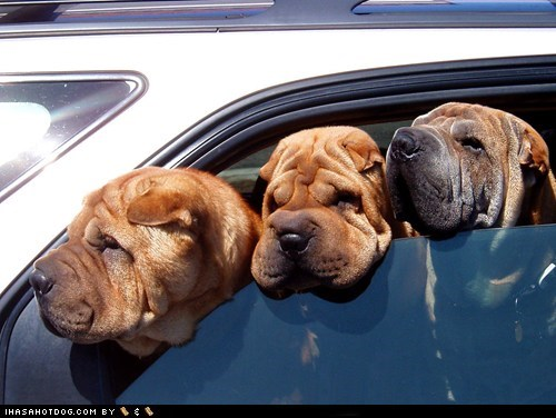 adorable anti-botox car cute driving goggie ob teh week head out of the window head out the window shar pei wrinkles - 5626485504