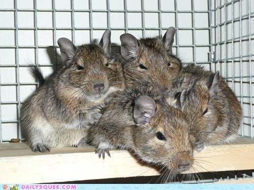 Four degus on a bench