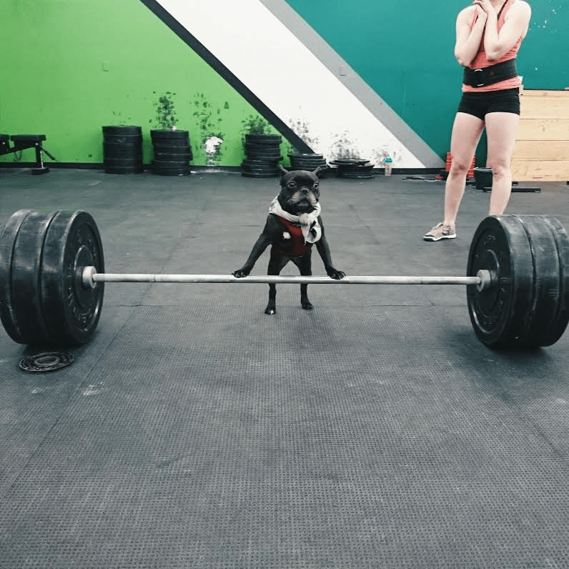dog lifting weights at gym