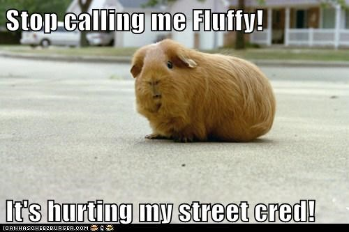 animals,best of the week,Fluffy,gangster,guinea pig,Hall of Fame,street cred