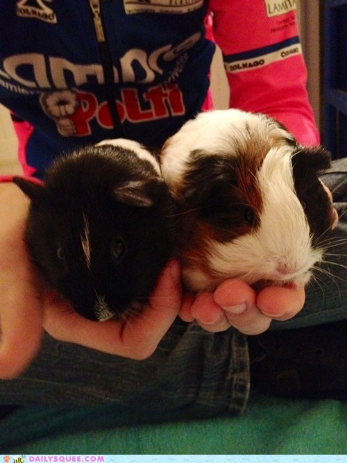 guinea pig guinea pigs handful handfuls Harry Potter homage namesake namesakes reader squees hunger games - 5643421440