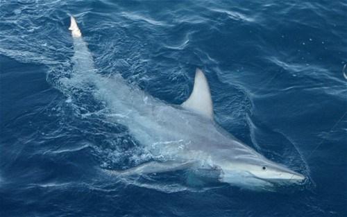 australia black-tip Hybrid shark - 5644426240