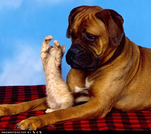 adorable,adorbz,boxer,friends,friendship,kittehs r owr friends,kitten,love,mixed breed
