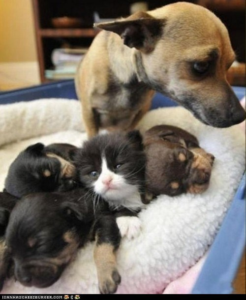 dogs,goggies,goggies r owr friends,hiding,impostor,Interspecies Love,kitten,puppies,sneaky