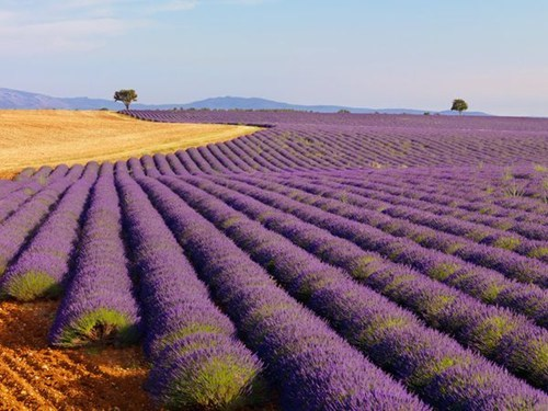 europe,field,france,getaways,horizon,lavender,purple